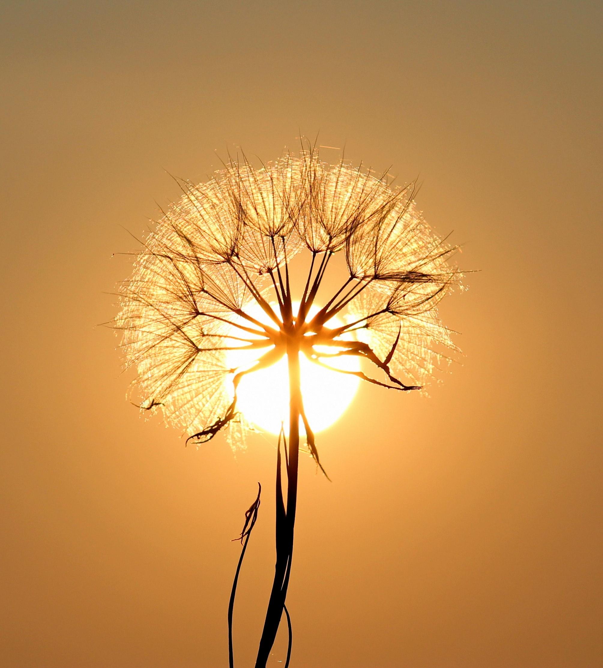 bloom-blossom-dandelion-192544.jpg