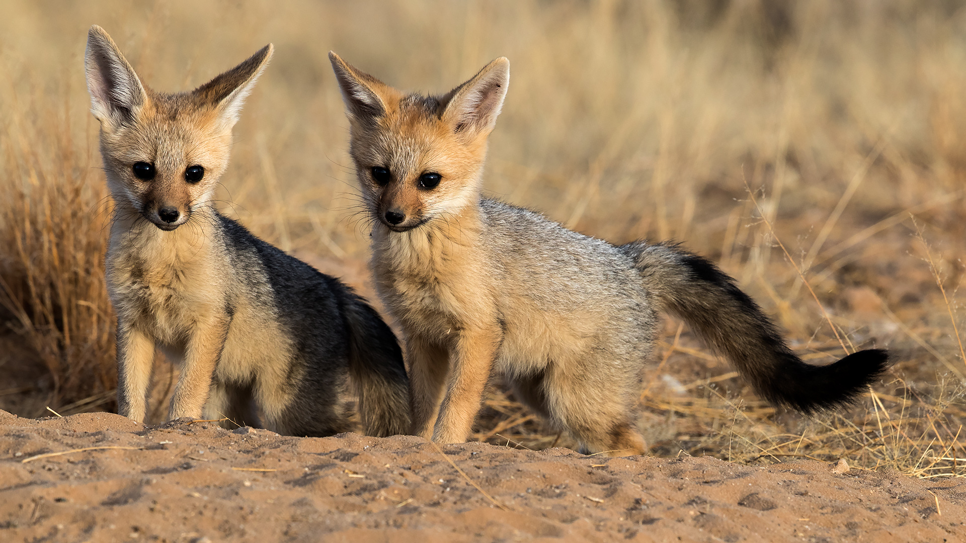 Jackals by Derek De Beer