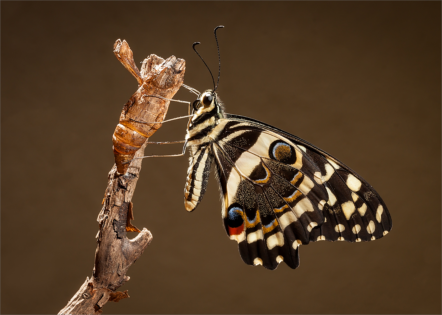 Freshly Emerged Swallowtail by Eddie Reinecke