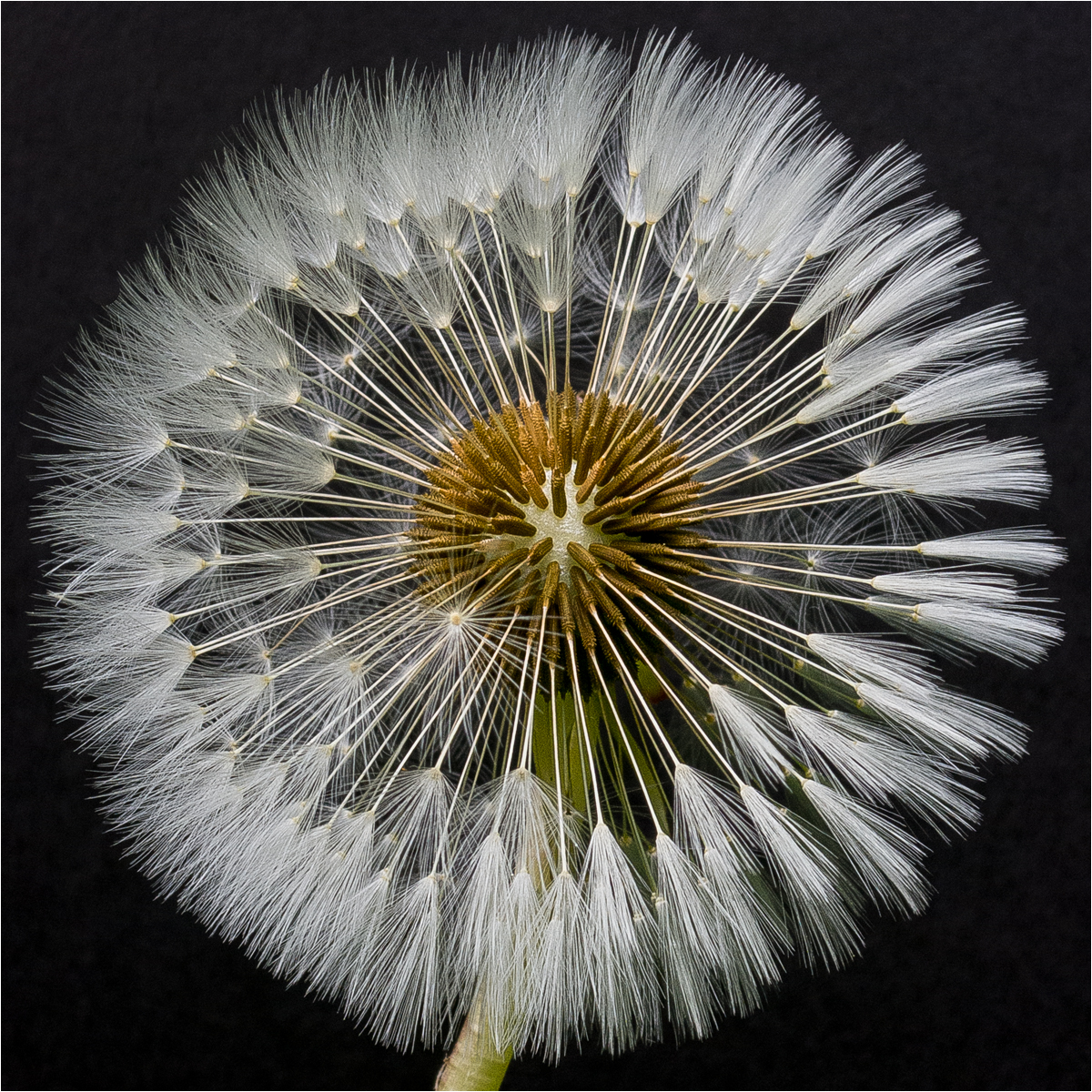 Emerging Dandelion by Mike Pockney