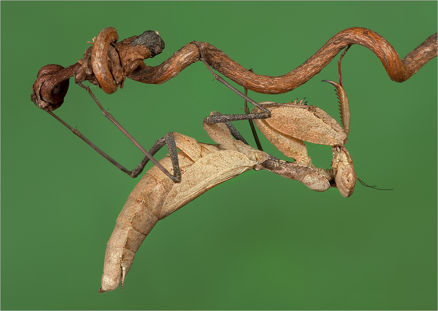 Praying Mantis by Peter van der Horst