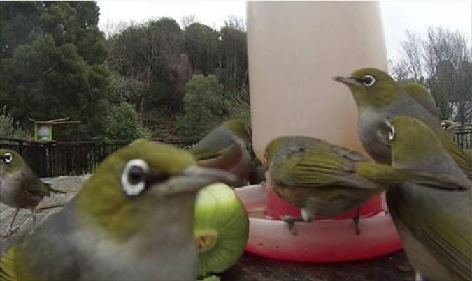 Silvereyes at a feeder - courtesy Simon Smith