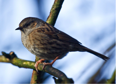 Dunnock/hedge sparrow  (Flickr photo by Richard Towell, CC BY 2.0)