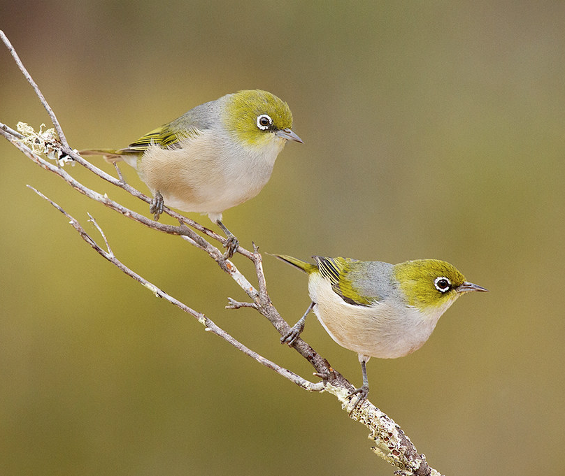 Silvereyes  (Flickr photo by Patrick Kavanagh, CC BY 2.0)