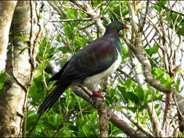 Kereru/New Zealand pigeon (Flickr photo by Katja Schultz, CC BY 2.0)