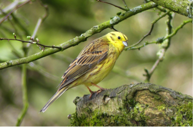 Yellowhammer (Flickr photo by Ian Preston, CC BY 2.0)