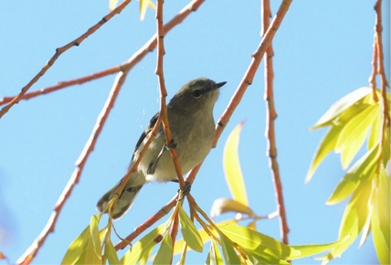 Grey warbler (Flickr photo by Ben, CC BY 2.0)