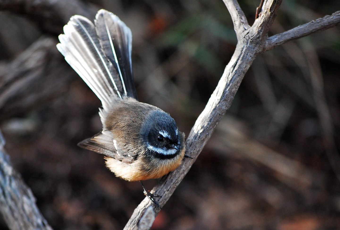 Fantail  (Flickr photo by Daniel Pietzsch, CC BY-NC 2.0)