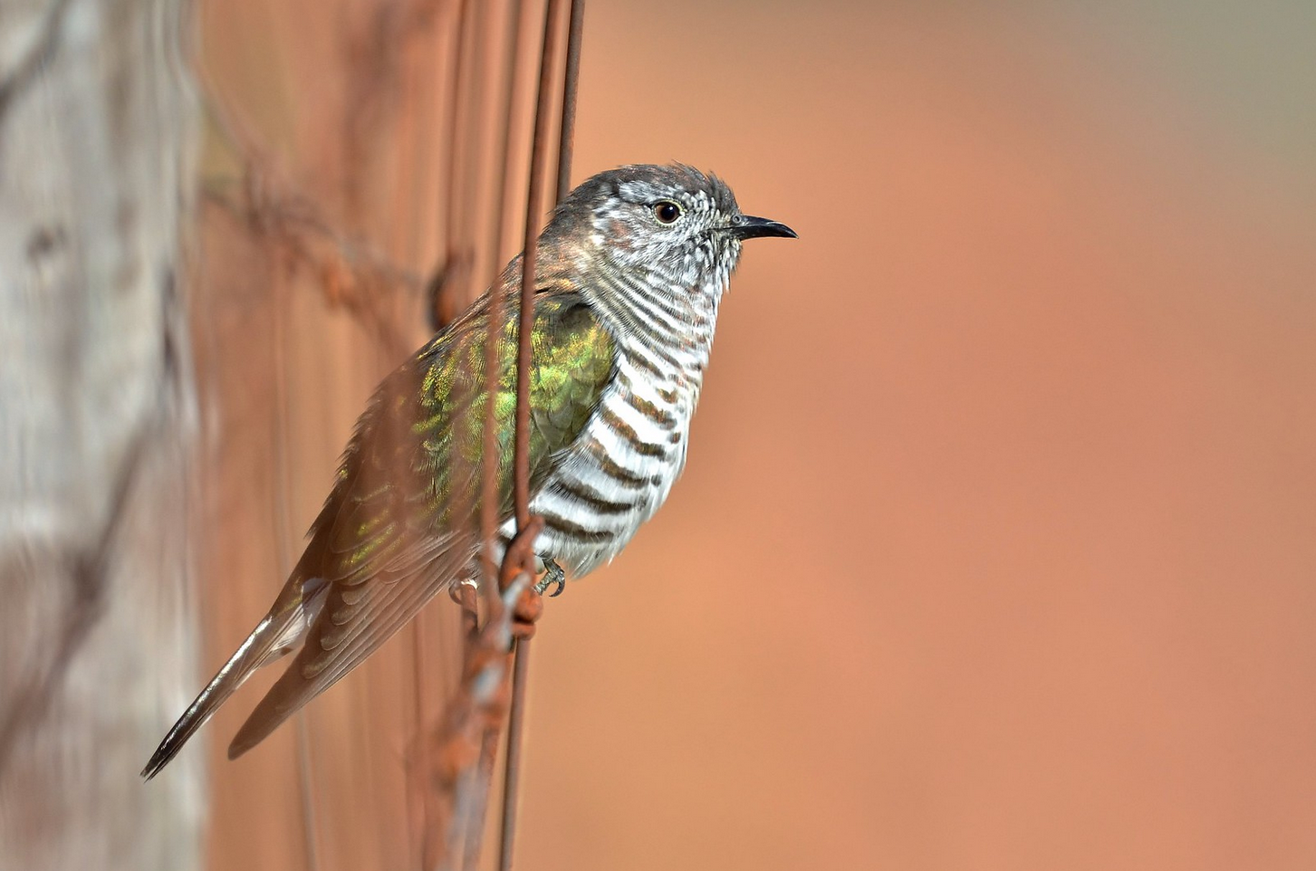 Shining cuckoo (Flickr photo by Laurie Boyle - CC BY-SA 2.0)