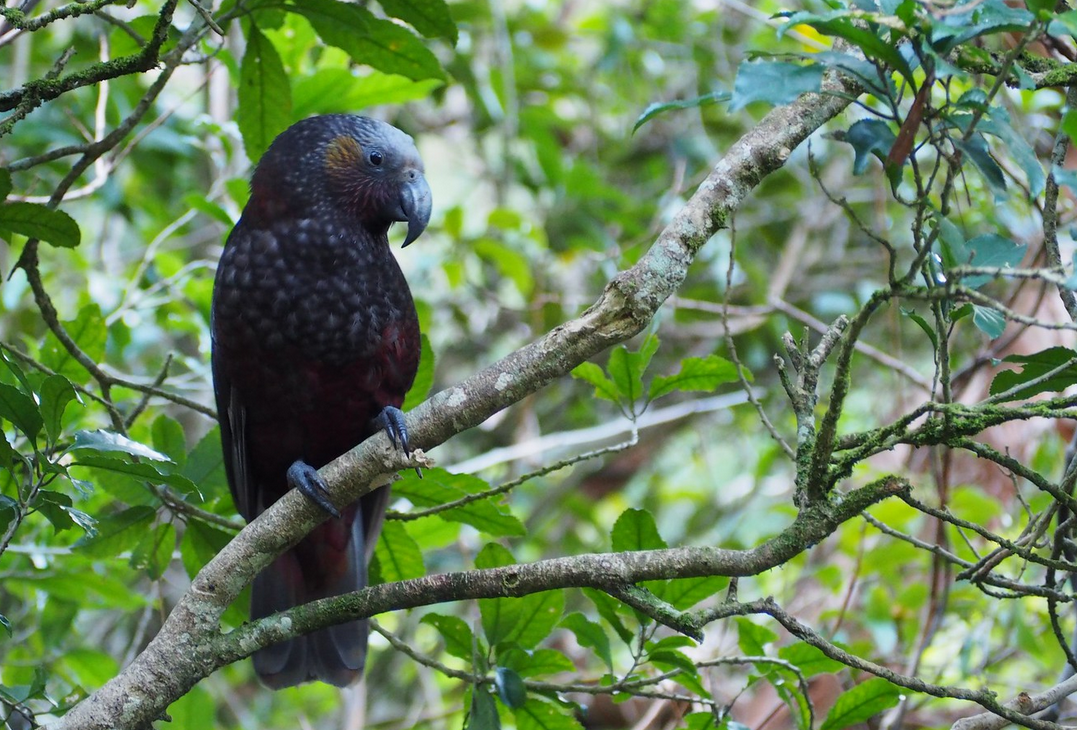 Kaka (Flickr photo by Doug Newdick - CC BY-NC 2.0)
