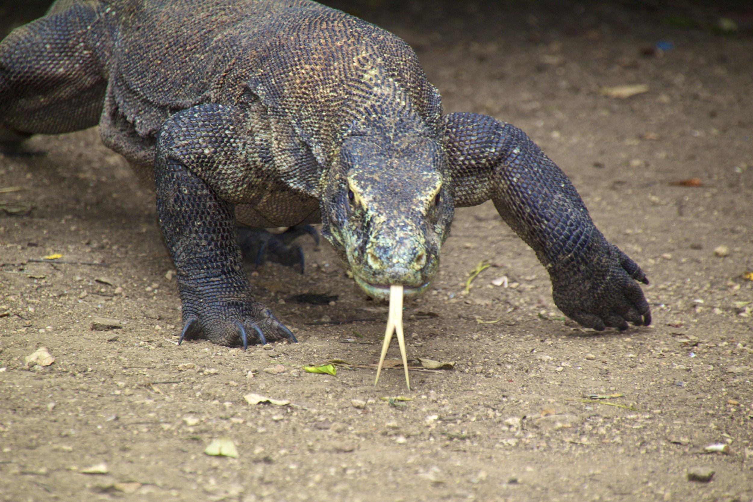 komodo dragons rinca island indonesia 21.jpg