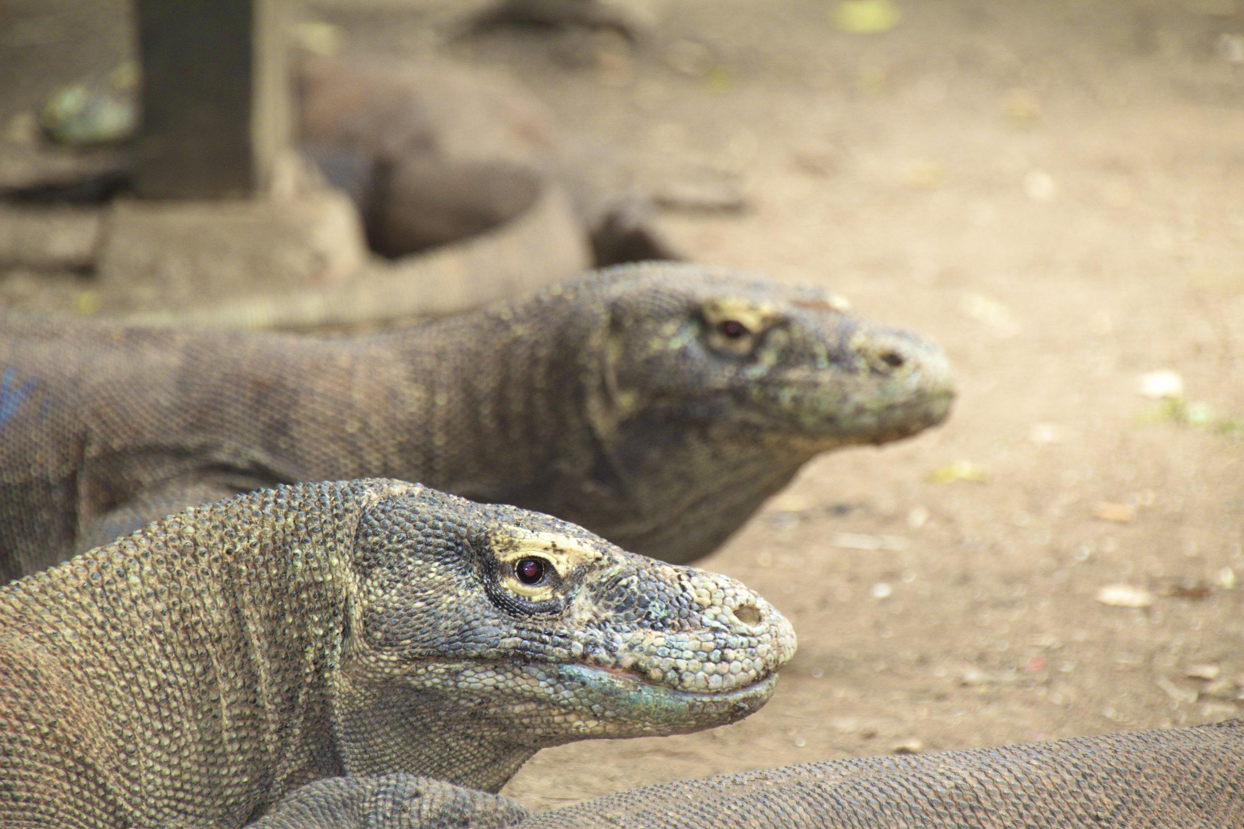 komodo dragons rinca island indonesia 20.jpg