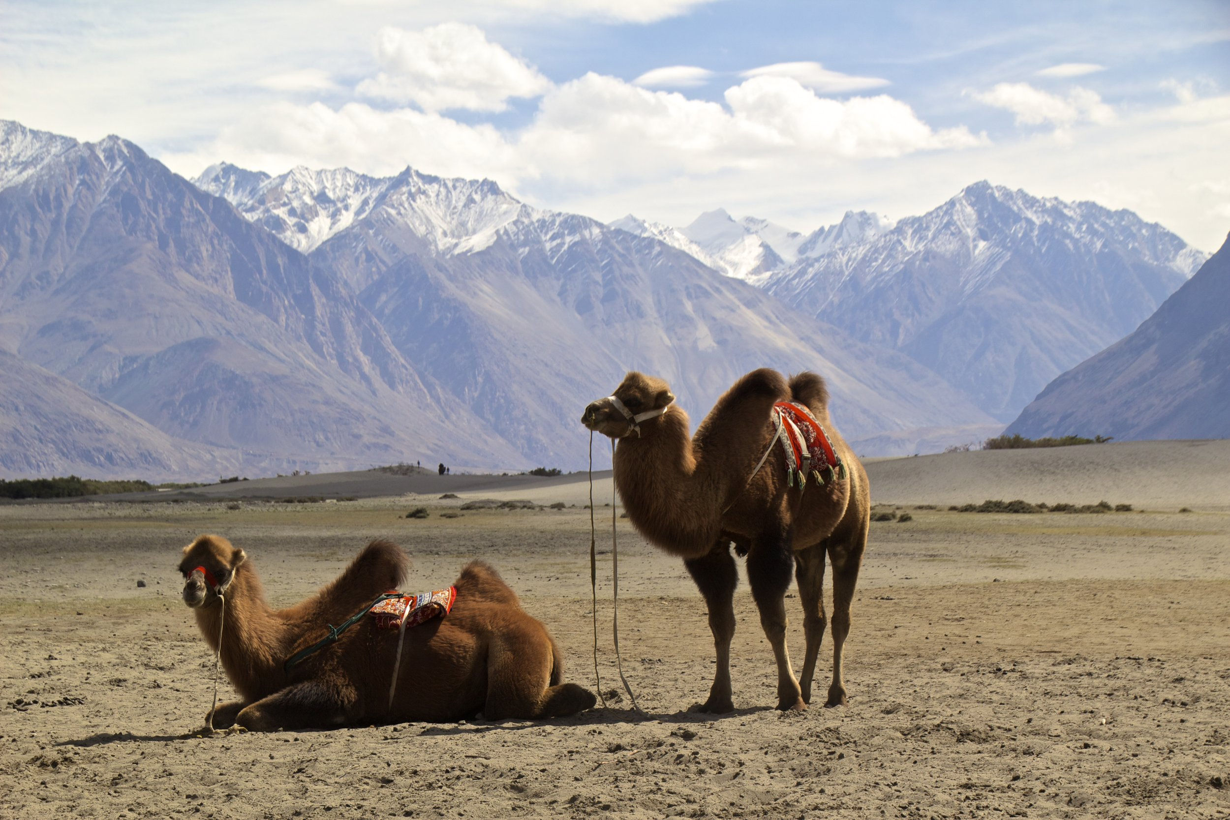 bactrian camels nubra valley ladakh 6.jpg