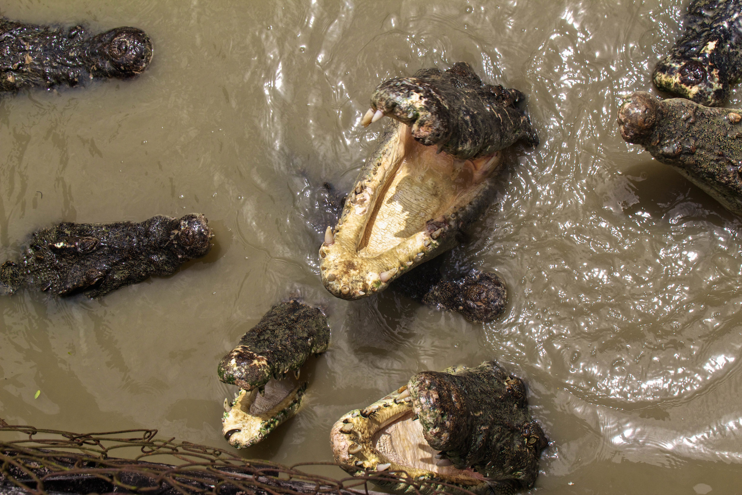 rangoon yangon crocodile farm burma myanmar 4-2.jpg
