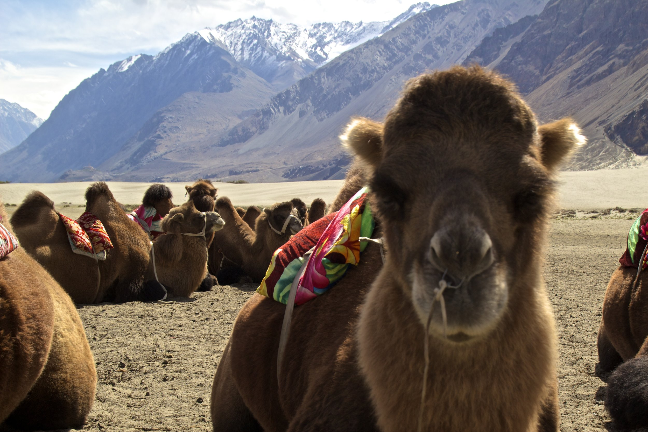 bactrian camels nubra valley ladakh 7.jpg