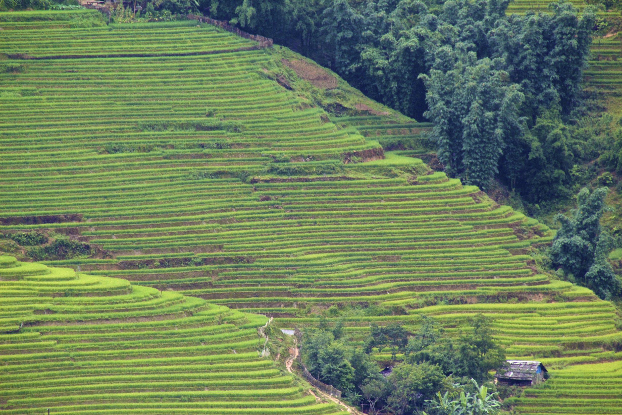sa pa lao cai vietnam rice paddies 14.jpg