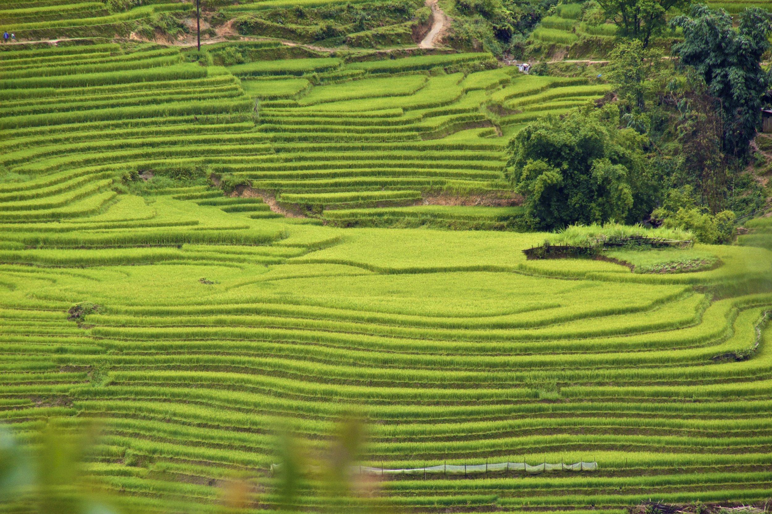 sa pa lao cai vietnam rice paddies 27.jpg