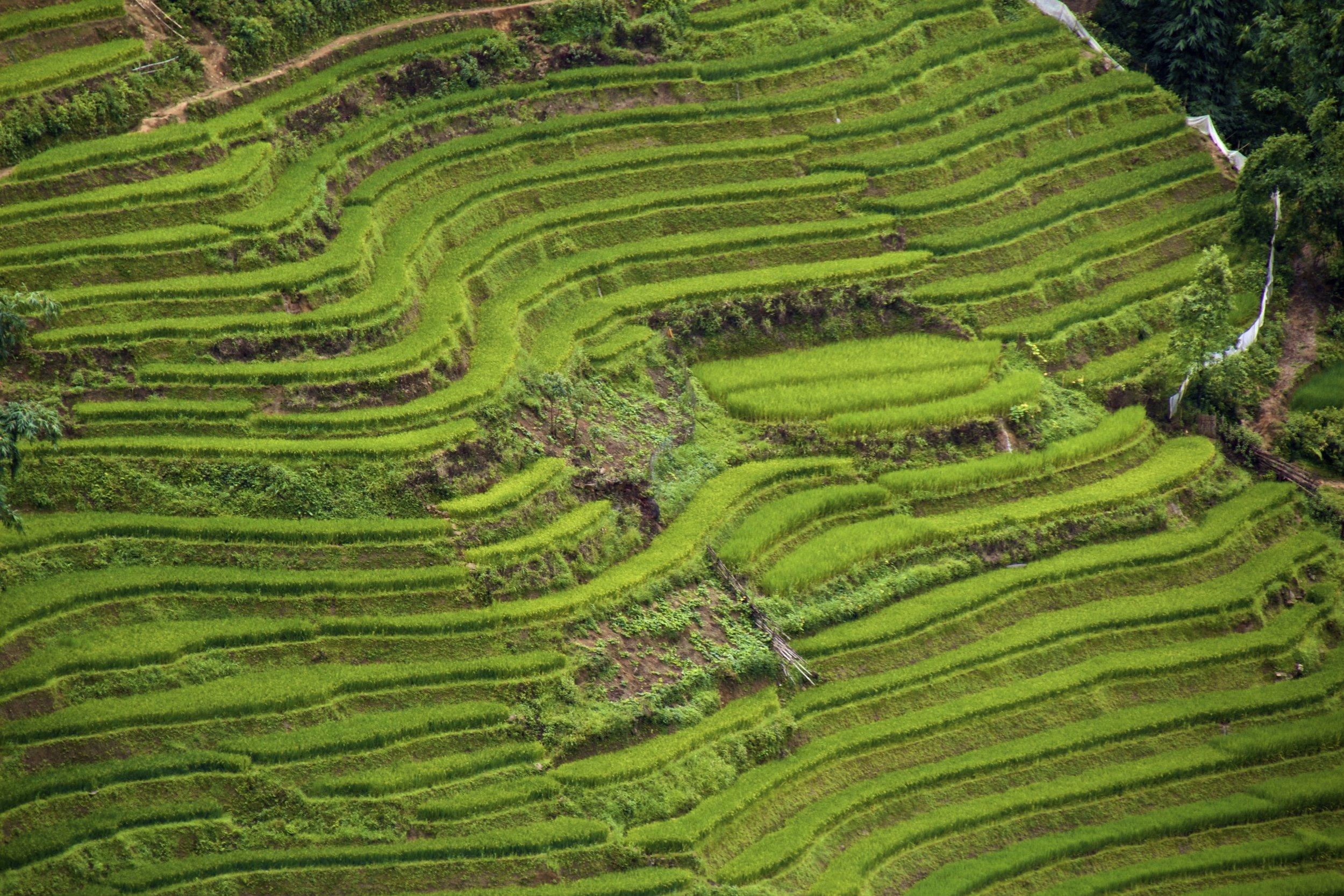 sa pa lao cai vietnam rice paddies 32.jpg