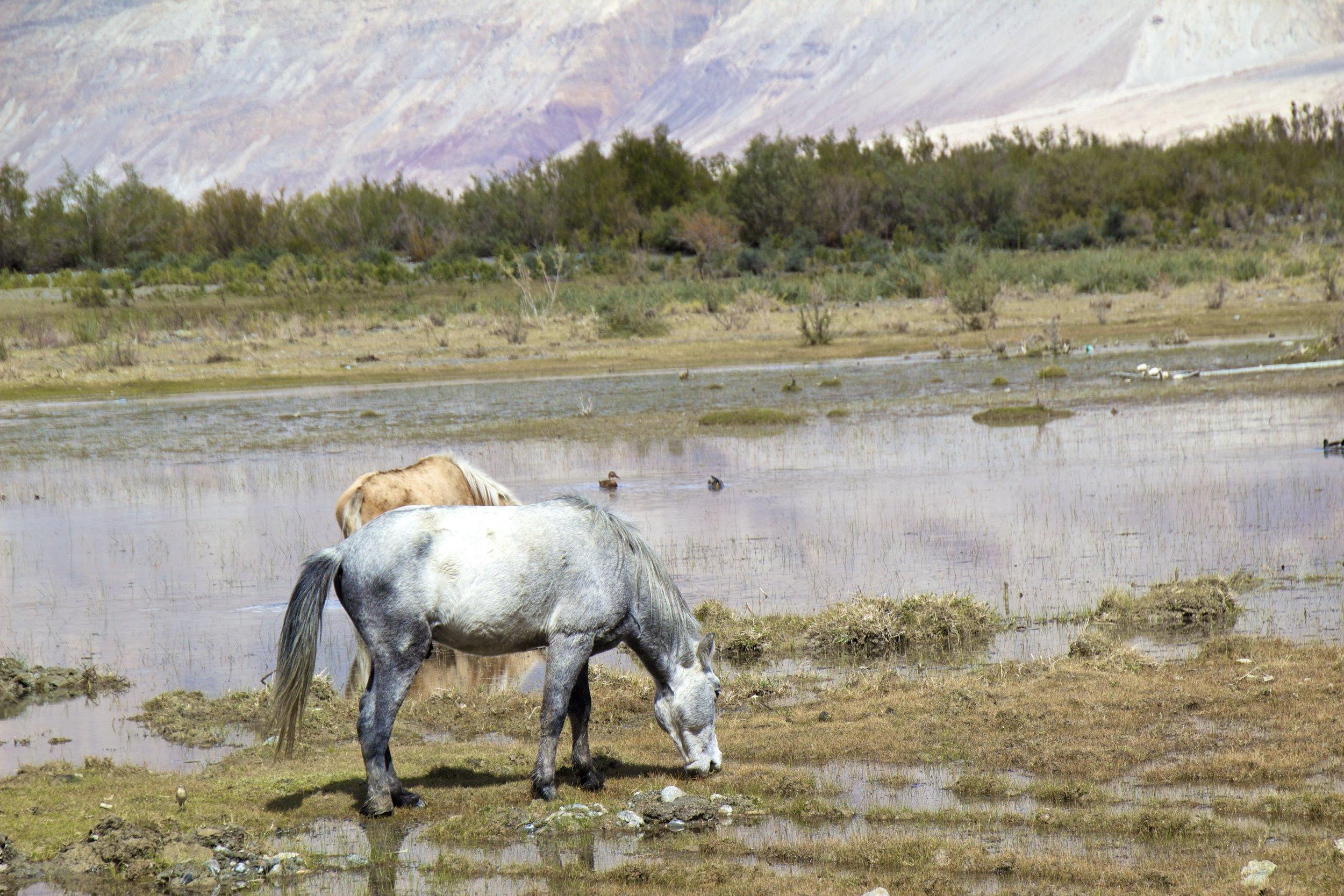 Nubra Valley Ladakh Kashmir Indian Himalayas Horse.jpg