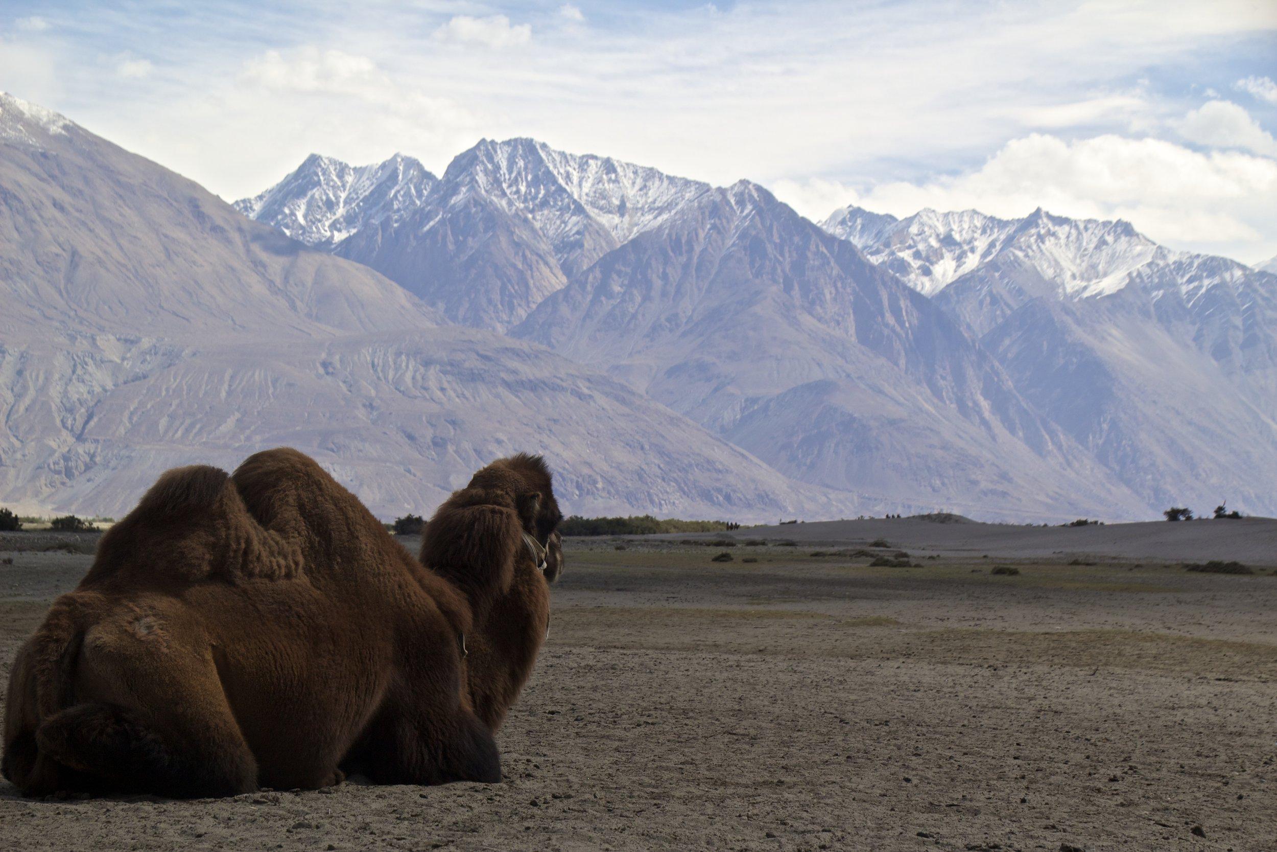 bactrian camels nubra valley ladakh 1.jpg