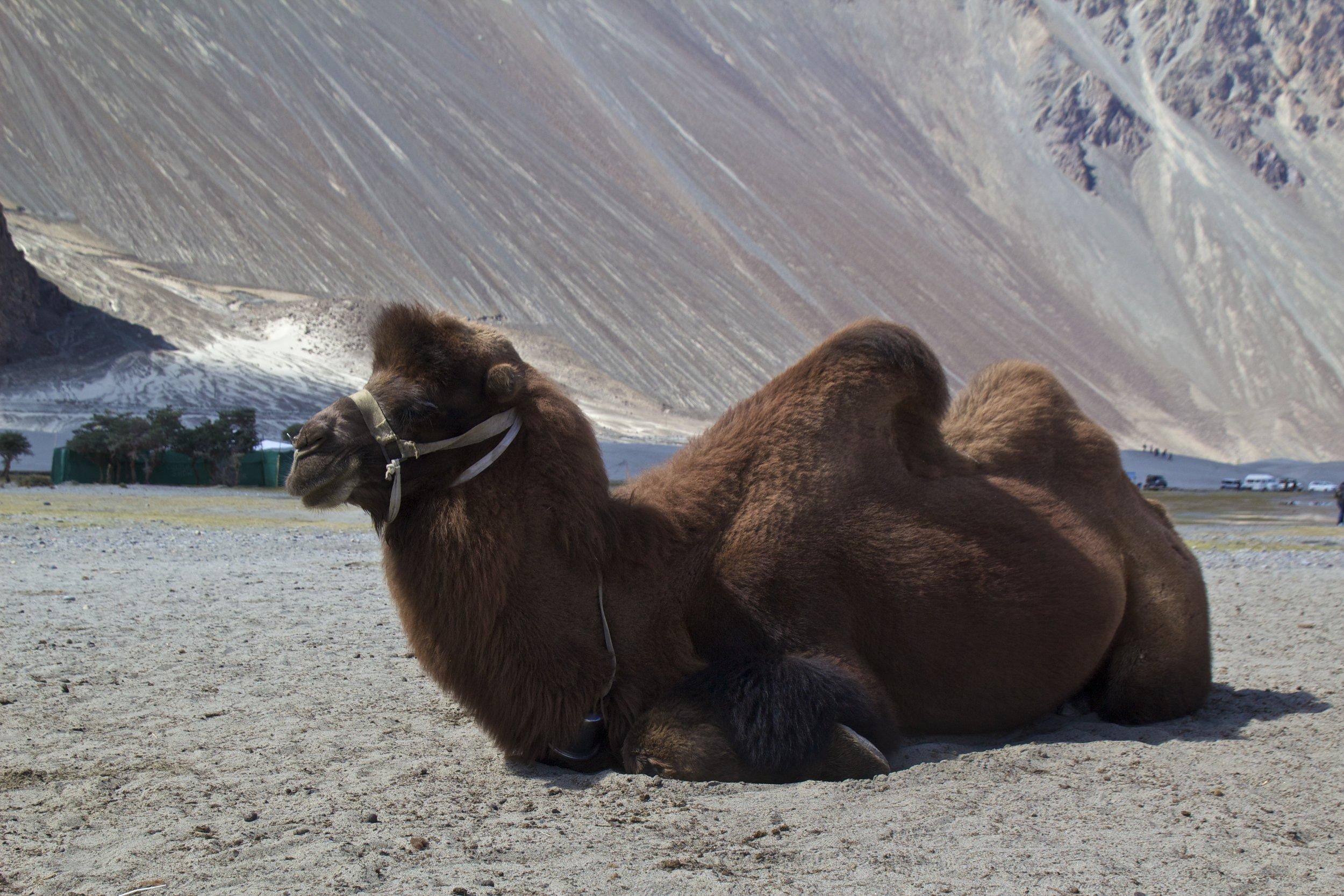 bactrian camels nubra valley ladakh 2.jpg