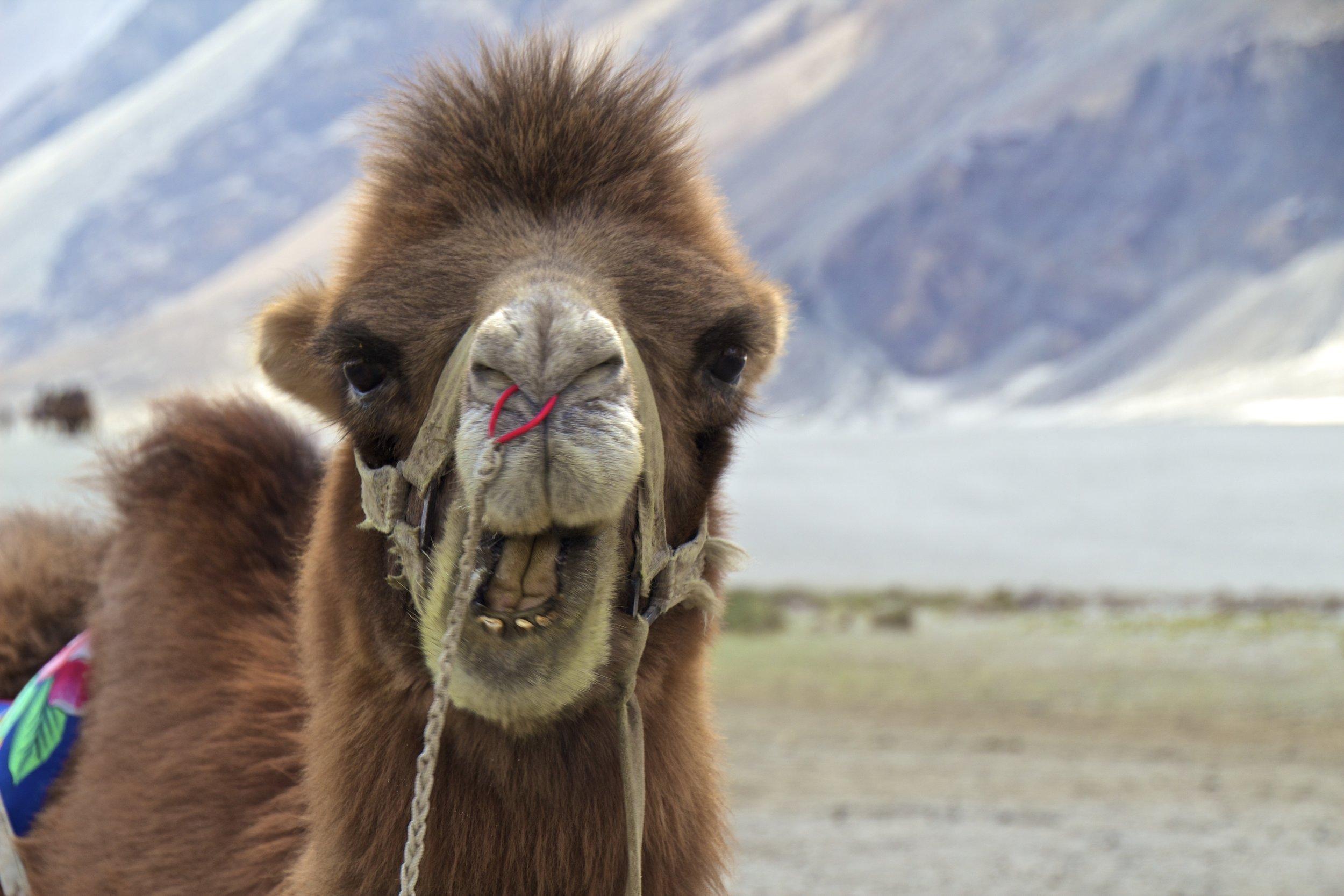 bactrian camels nubra valley ladakh 4.jpg