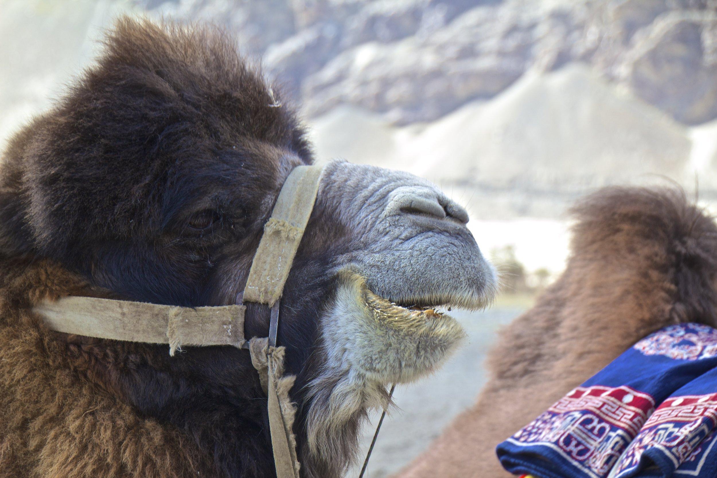 bactrian camels nubra valley ladakh 5.jpg