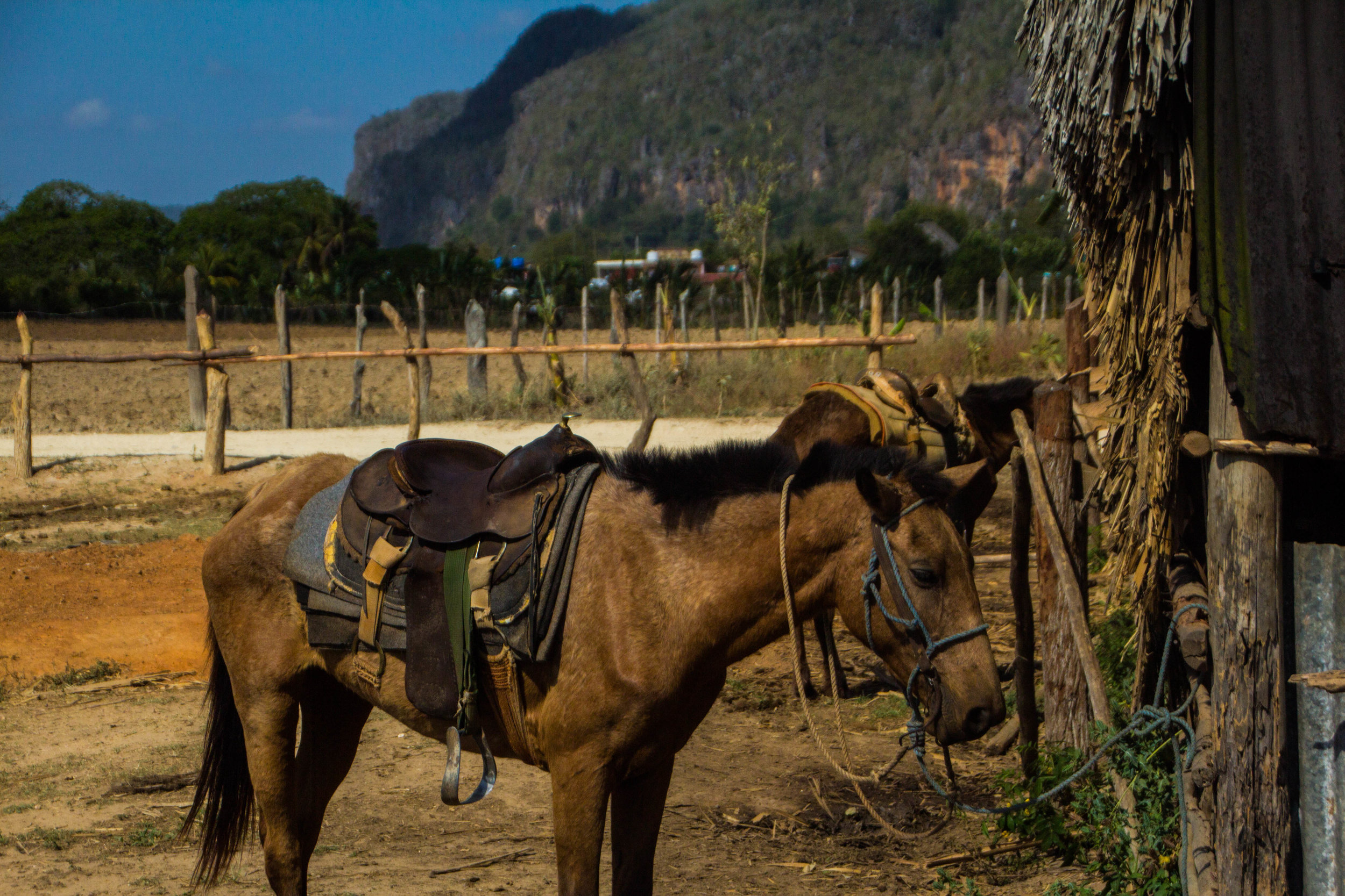 horses viñales cuba-1-2-2.jpg