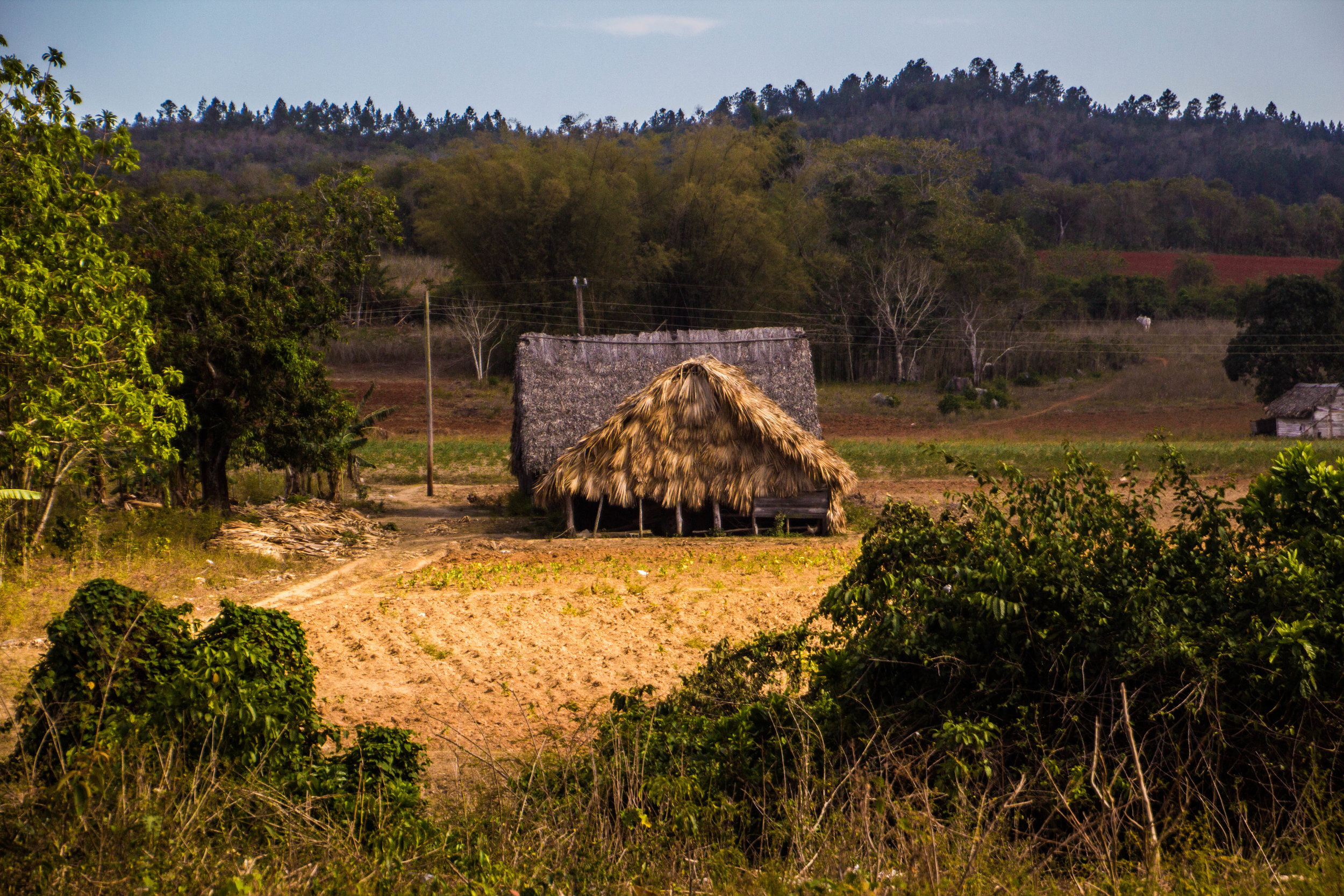 tobacco agriculture viñales cuba-1-2-2.jpg