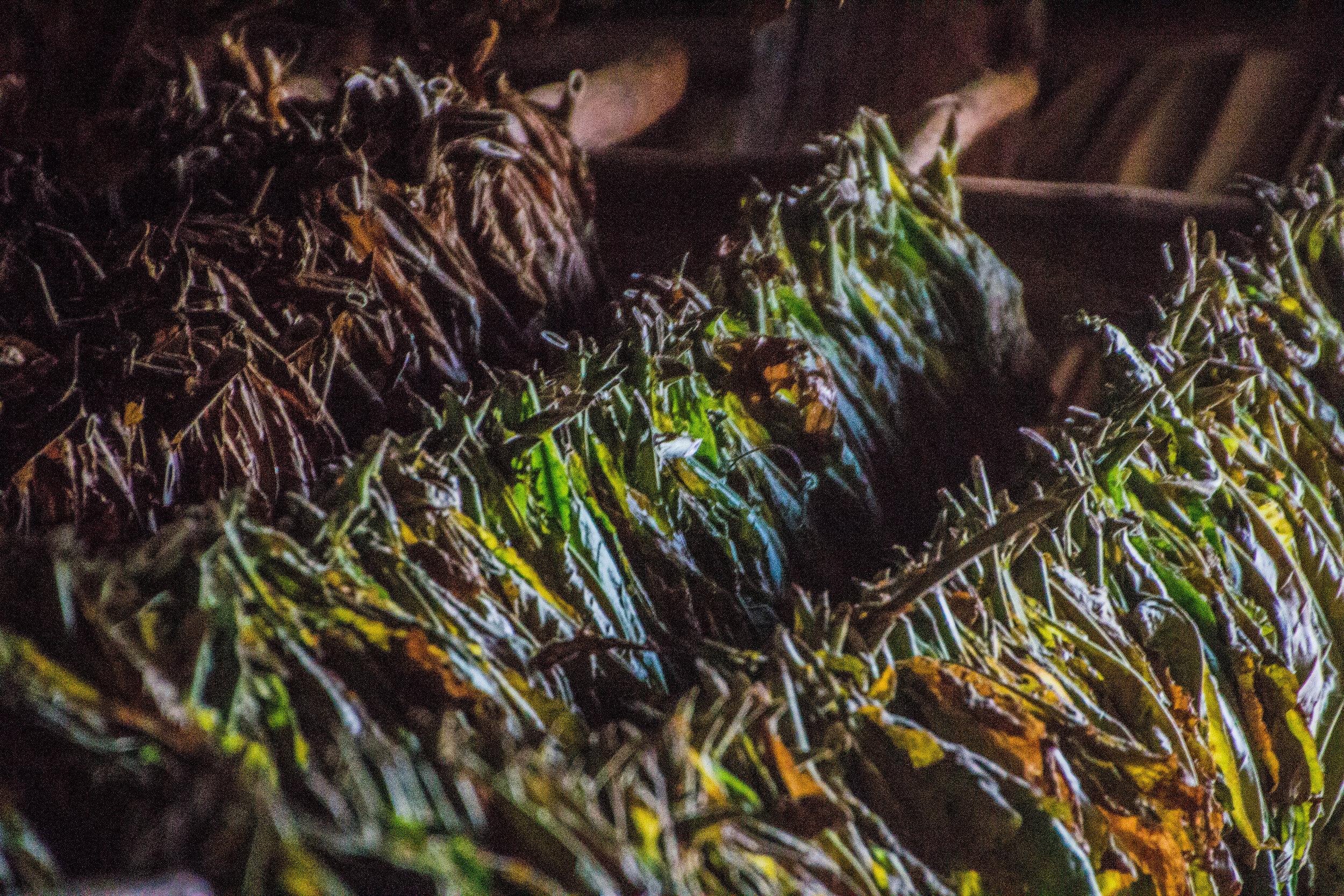 tobacco crop viñales cuba-1-2-2.jpg
