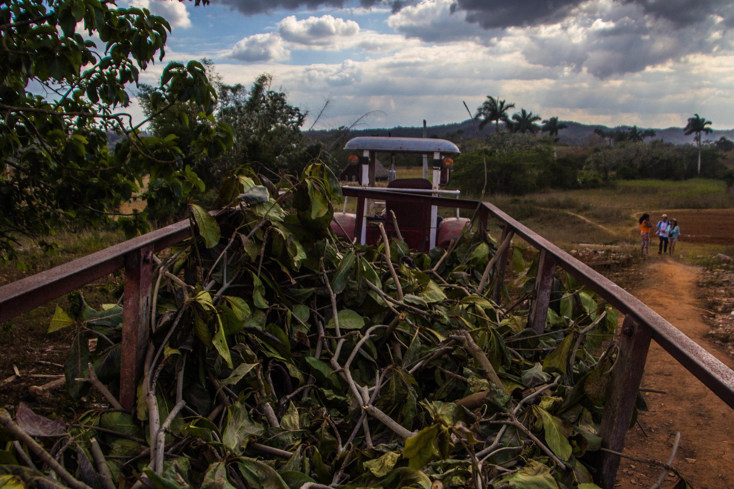 tobacco industrial agriculture viñales cuba-1-2.jpg