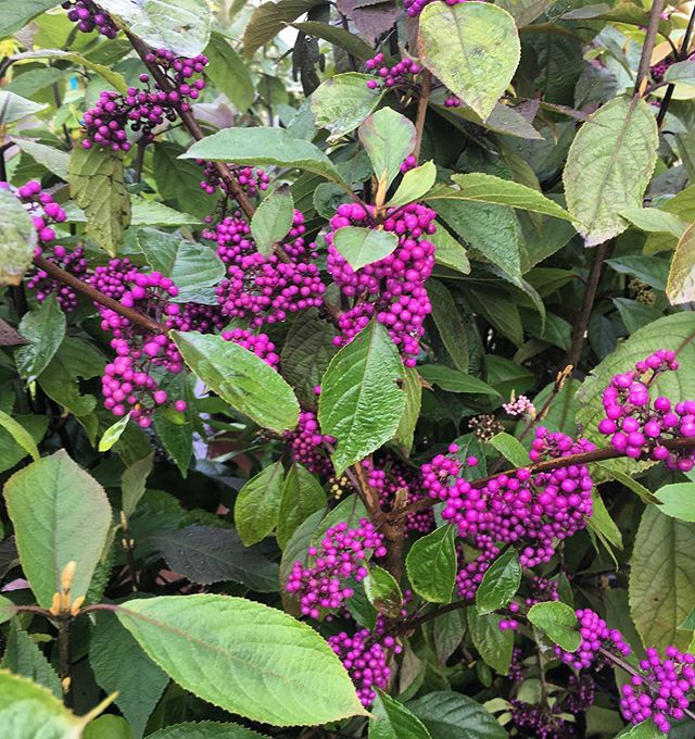 Calicarpa 'Profusion'👍 These pretty purple berries keep late in the season even after leaf drop.  Attracts bees and butterflies 🐝 • • • #plants #plantsomething #pretty #purple #picoftheday #berries #landscapeideas #langleyfresh #landscapedesign #lateseason #pnw #wholesalenursery #plantsmakepeoplehappy