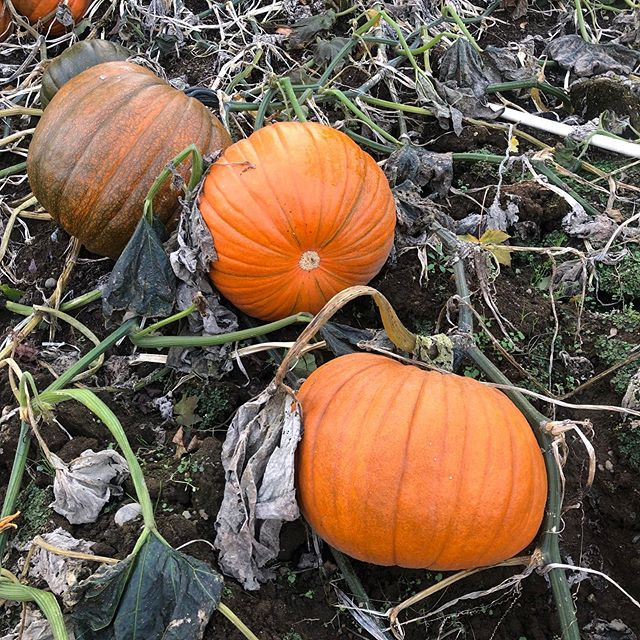 Pumpkins and Parrotia 🎃. All Dinesen customers: Be sure to grab a pumpkin (for you or the kiddos) next time you're in! • • • #pumpkinpatch #pumpkin #plants #nursery #plantsomething #halloween #jackolantern #fall #fallishere #orange #plantsmakepeoplehappy #picoftheday #pic #pickme