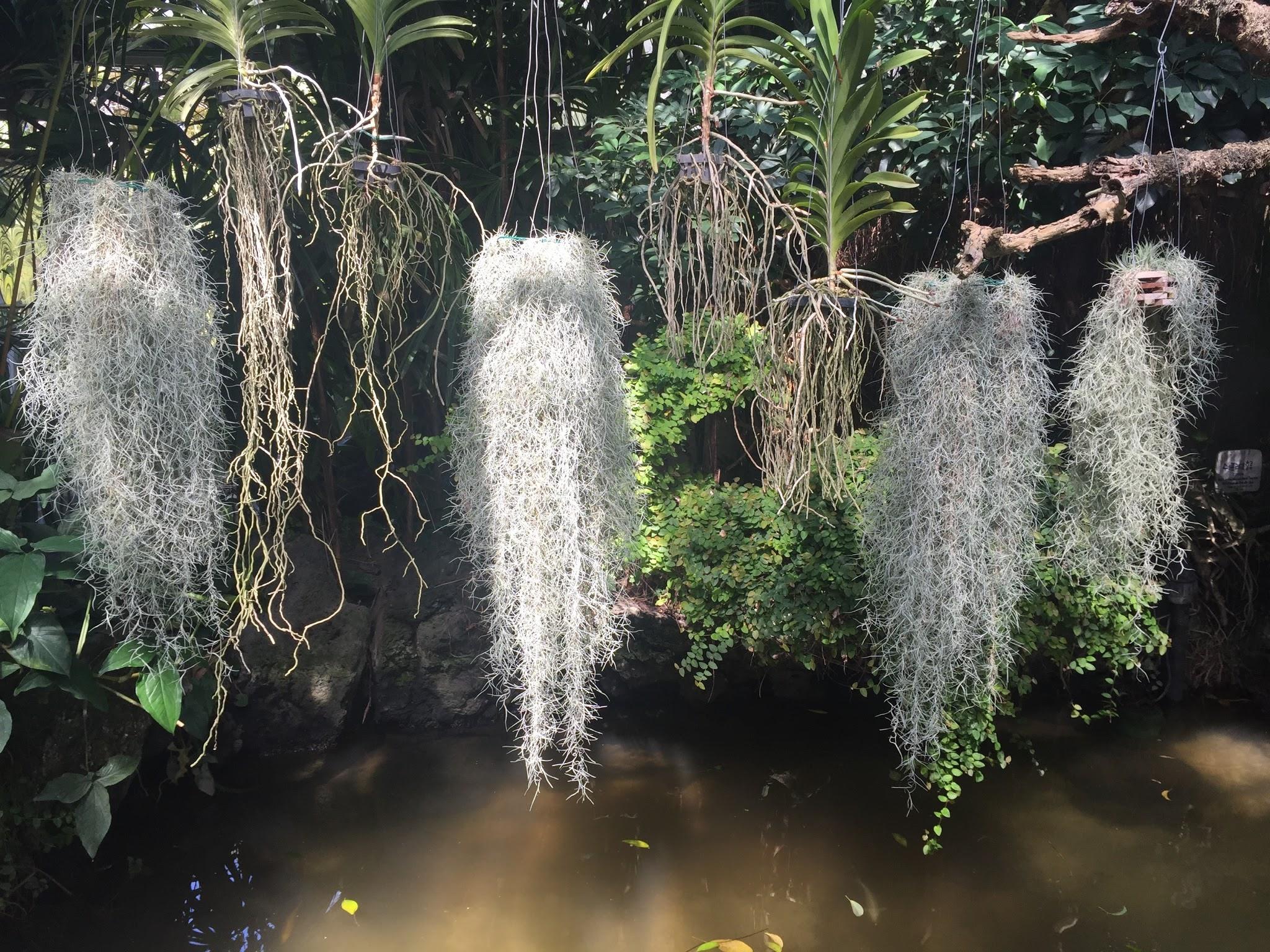 Spanish Moss in Jeju Hallim Park