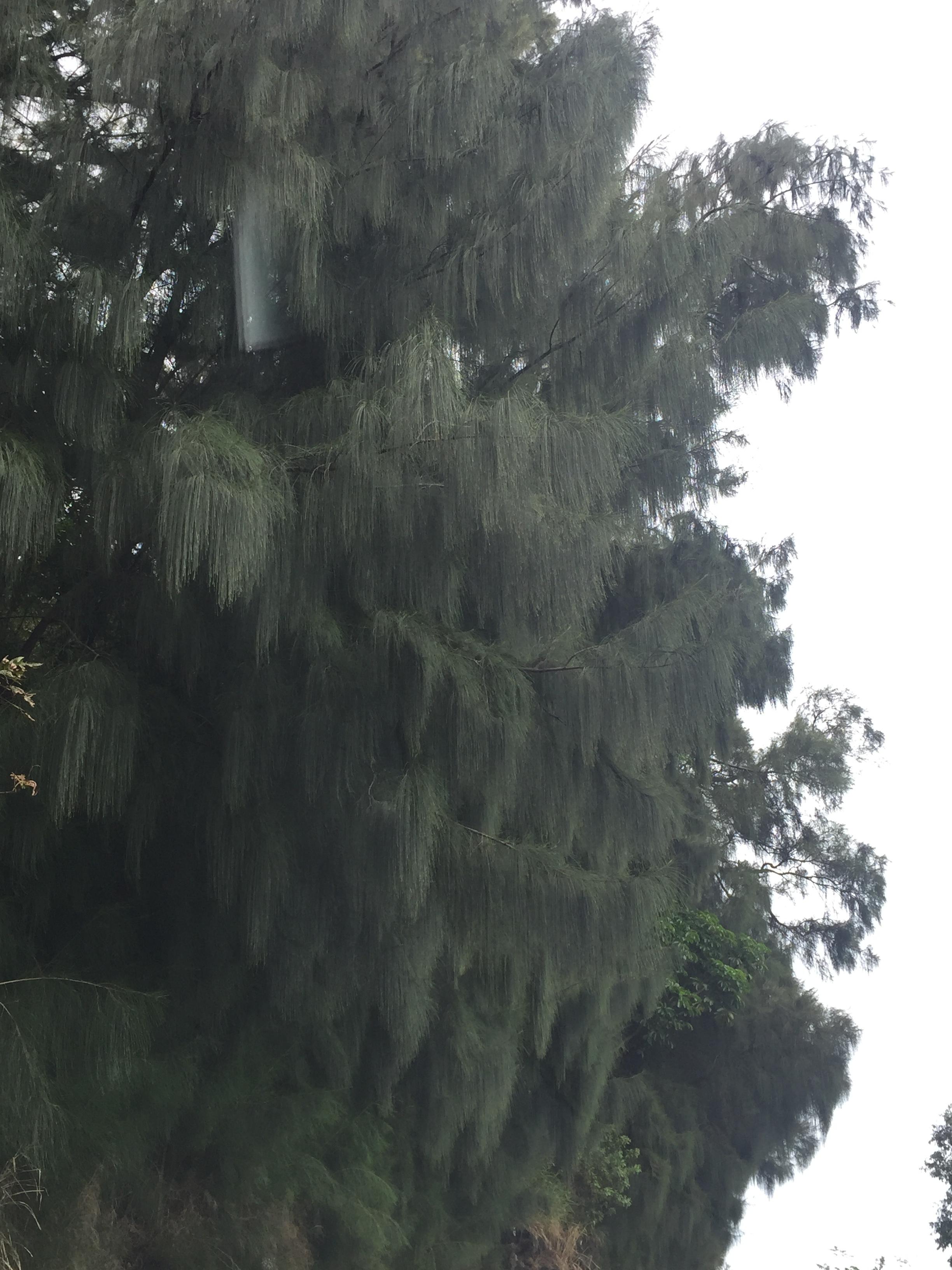 Ironwood in Kona, Big Island