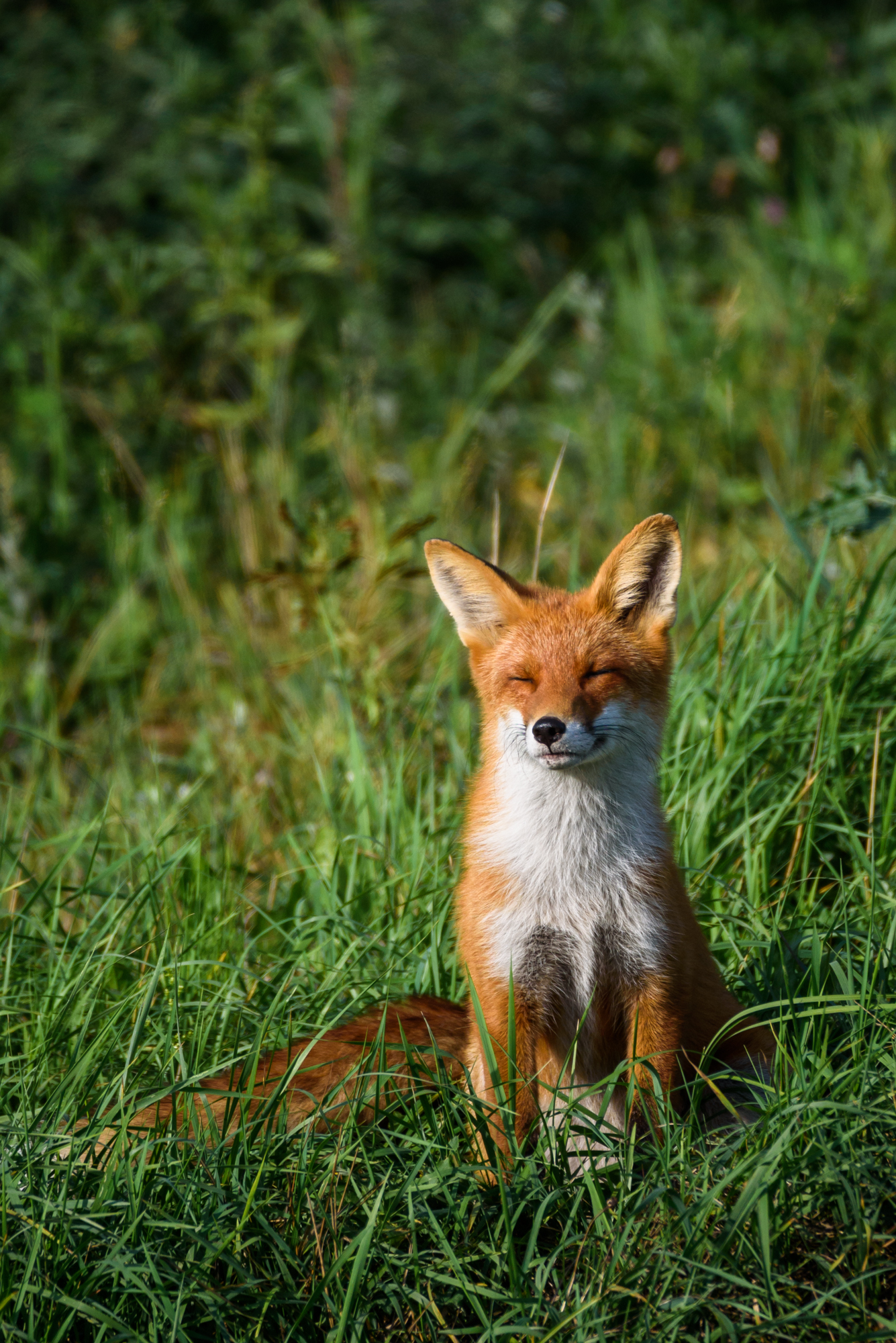 08.09.2018. Beautiful red fox (vulpes vulpes) sitting on grass at meadow.