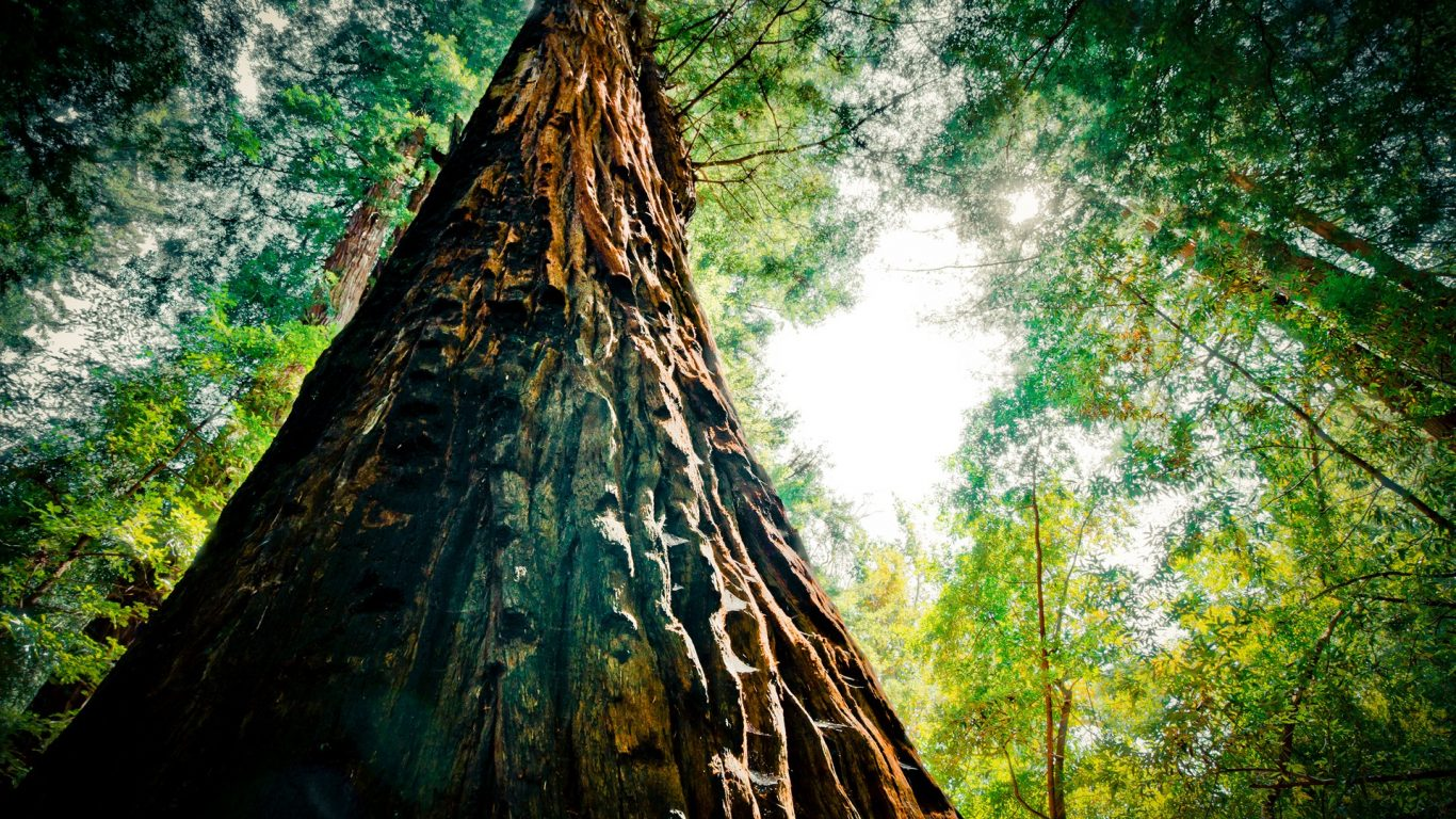 forest-trunk-redwood-tall-closeup-bark-mighty-tree-scenery-wallpapers-1366x768.jpg