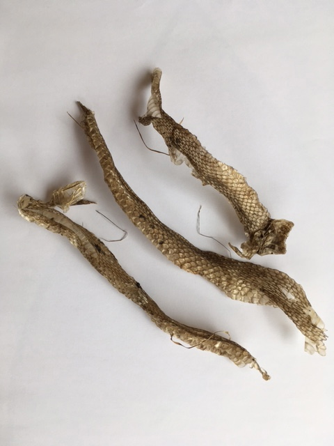 Shed Grass Snake skin found on edges of lake late June 2017