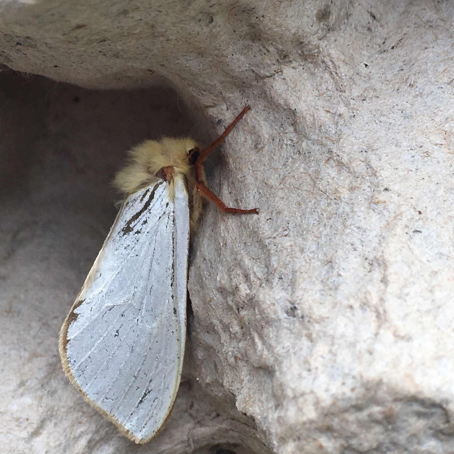 This wonderful moth is called a Ghost Moth- this is the male. A quote from Hugo - 'The female is pale orange and brown. It's called Ghost Moth because the males lek at dusk and on moonlit nights. En-masse they look like a moving ghost'.