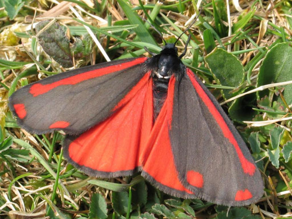 Adult Cinnabar Moth.