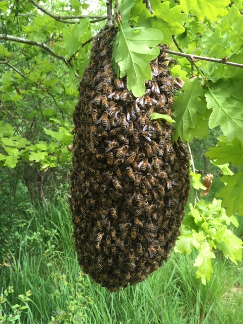 The beautiful swarm, which I found hanging from a young oak at UWNR. It had been exposed for too many days assaulted by cold winds, driving rain & cold nights - my concern was it wouldn't survive, even in the short term.
