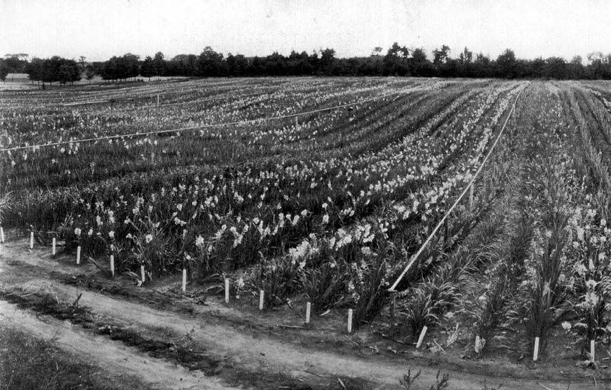 Gladiolus Field.jpg