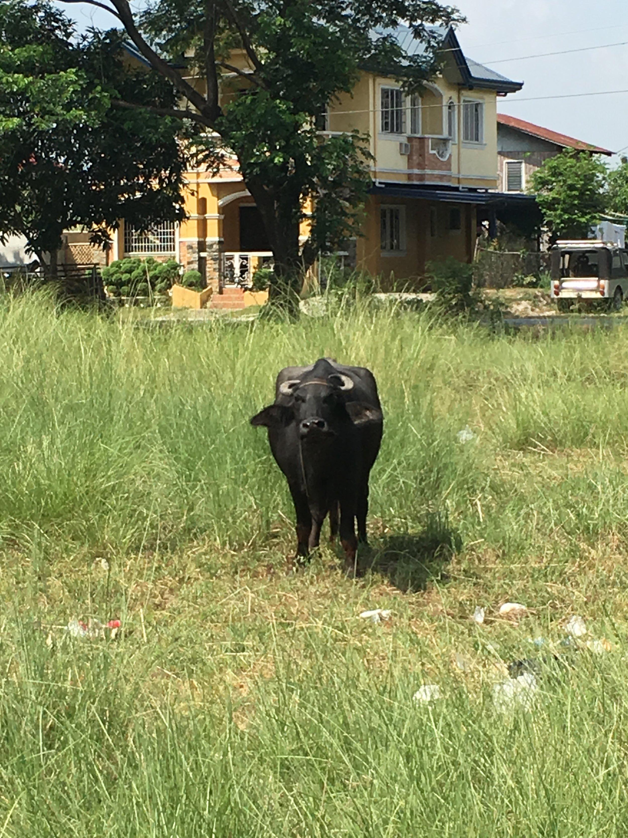 Carabao (Water Buffalo)