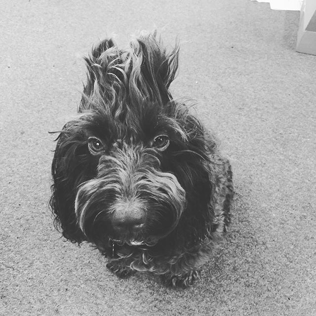 Lct's office dog Beti having a Mohican hair day. #cockapoo #officedog #lctinteriorsolutions #cockapoosofinstagram #doghairstyle #mohawk