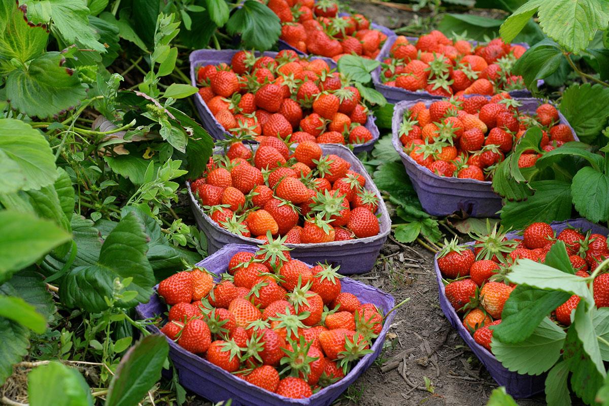 gobind-farm-strawberries.jpg