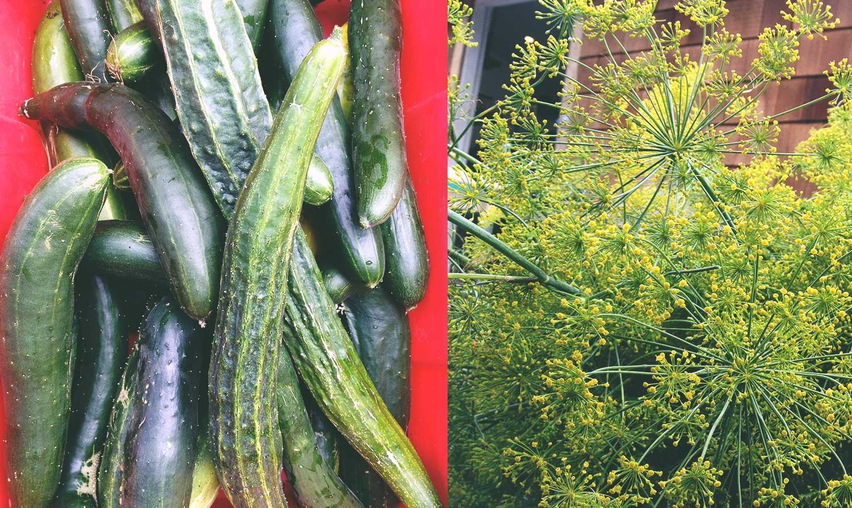 local-cucumber-local-dill