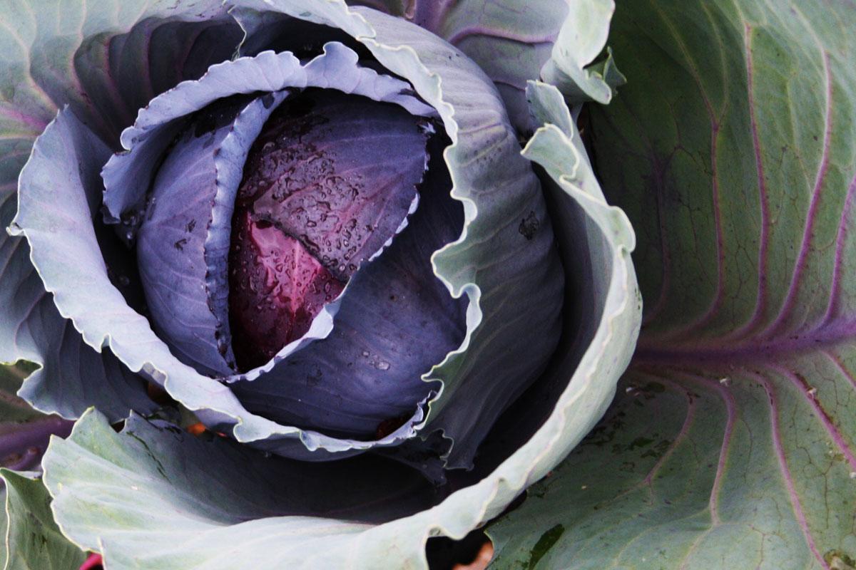 winter-cabbage.jpg