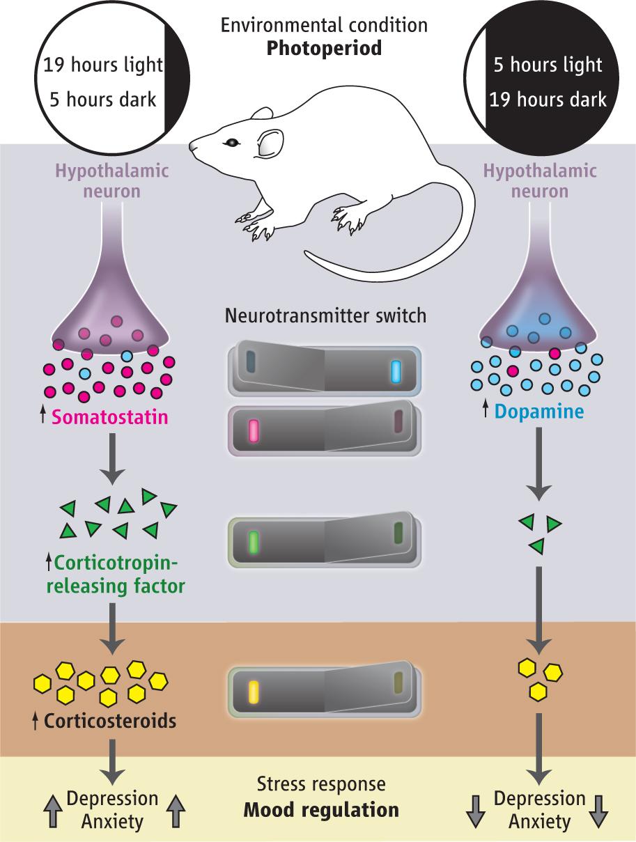 TL;DR: Increased dark -> somatostatin to dopamine switch -> less depressed mood; increased light -> dopamine to somatostatin switch -> increased stress hormones -> more depressed mood