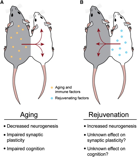 But...but!! No one wants to accelerate aging! What about eternal youth?  Source: SA Villedaa & T Wyss-Coraya (2013). The circulatory systemic environment as a modulator of neurogenesis and brain aging. Autoimmunity Reviews 12 (6): 674–677