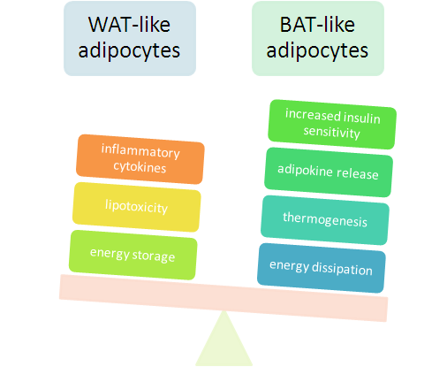 WAT vs BAT: White adipose tissue (white fat) vs Brown adipose tissue (brown fat). Do we have a winner here? Source: suppversity.blogspot.com